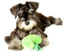 Schnauzer puppies training