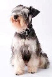 how to train your miniature schnauzer puppy to listen