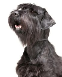 how to stop a miniature schnauzer barking
