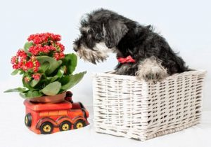 toys for a miniature schnauzer