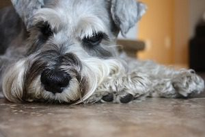 grooming a miniature schnauzer
