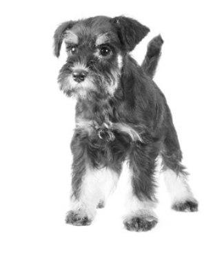 adopting-a-miniature-schnauzer-puppy