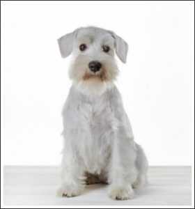 Training Your Miniature Schnauzer Puppy