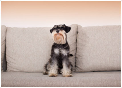 How to Stop a Miniature Schnauzer Puppy Jumping on Furniture