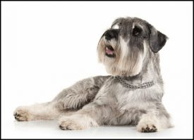 Train Your Miniature Schnauzer Puppy to Use a Dog Door