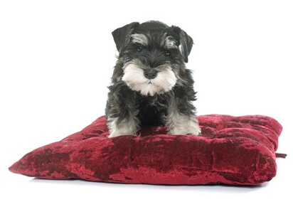 Bringing Your New Miniature Schnauzer Puppy Home in the Car