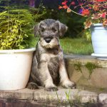 Training a Miniature Schnauzer Puppy to Come When Called