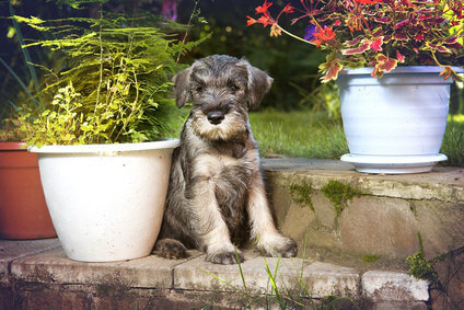 Training A Miniature Schnauzer Puppy To