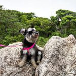 How Much Exercise Does a Miniature Schnauzer Need