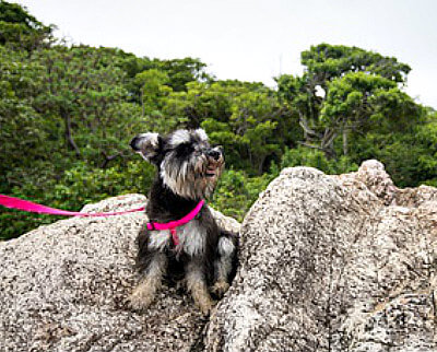 how much exercise does a miniature schnauzer need. Black Bedroom Furniture Sets. Home Design Ideas