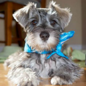 See What Happens When A Miniature Schnauzer Dances The Cancan