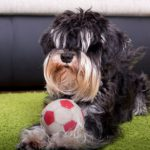 cool dog tricks your miniature schnauzer will love