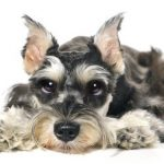 keep a miniature schnauzer dry in rainy weather