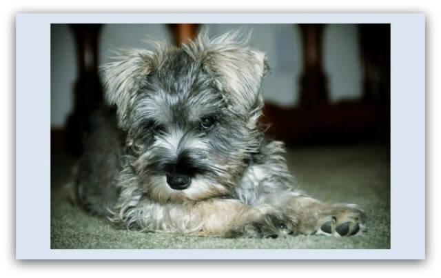 Adopting a Miniature Schnauzer Puppy