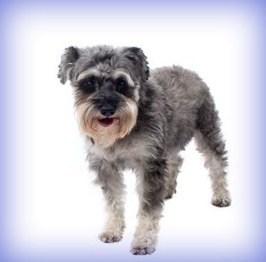Best Drinking Fountain for Your Miniature Schnauzer Dog