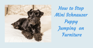 Stop Mini Schnauzer Jumping on Furniture