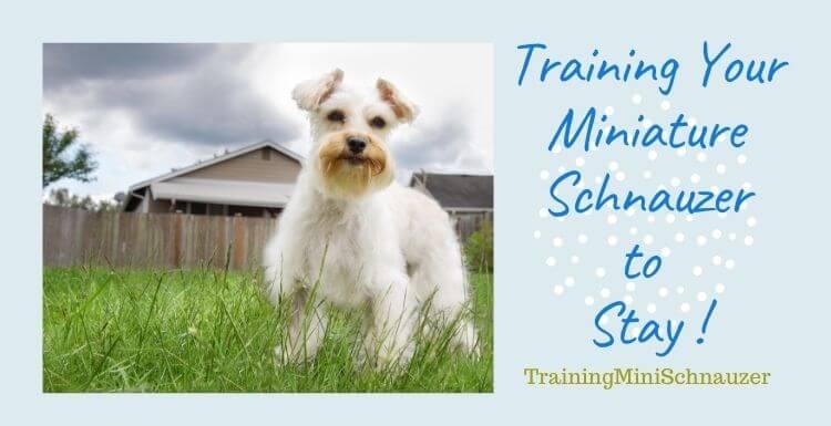 Training Your Miniature Schnauzer to Stay
